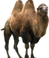 bactrian_camel1j