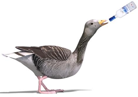 grey-goose-10597724